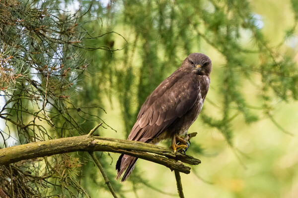 A common buzzard perched on a tree branch. Framed Mounted Print by Tommy Dickson