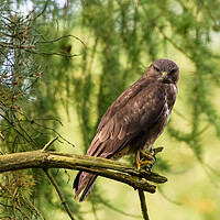 Buy canvas prints of A common buzzard perched on a tree branch. by Tommy Dickson