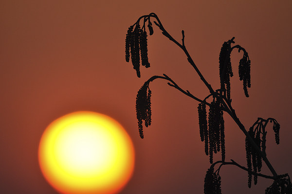 A Catkin Sunset Framed Mounted Print by Mark Kelly