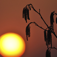 Buy canvas prints of A Catkin Sunset by Mark Kelly