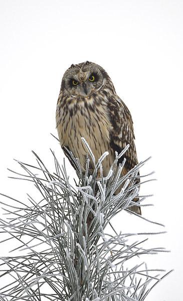 Short Eared Owl Framed Mounted Print by Mark Kelly