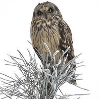 Buy canvas prints of Short Eared Owl by Mark Kelly