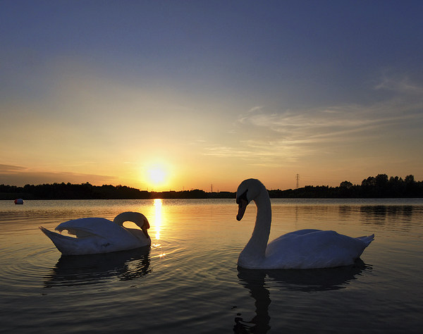 Two Swans at Sunset Framed Mounted Print by Mark Kelly