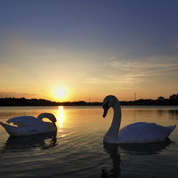 Buy canvas prints of Two Swans at Sunset by Mark Kelly