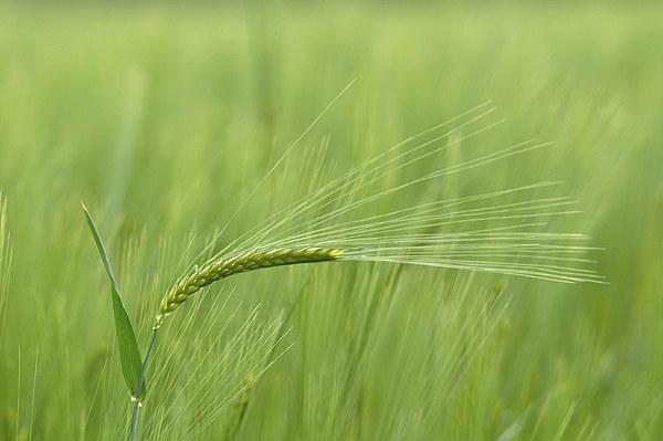 Barley Framed Mounted Print by Mark Kelly