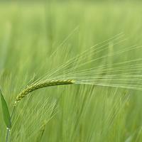 Buy canvas prints of Barley by Mark Kelly
