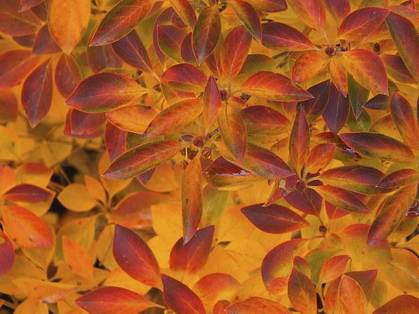 Autumn leaves Sheffield park Framed Mounted Print by Stephen Windsor