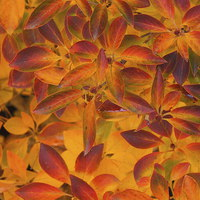 Buy canvas prints of Autumn leaves Sheffield park by Stephen Windsor