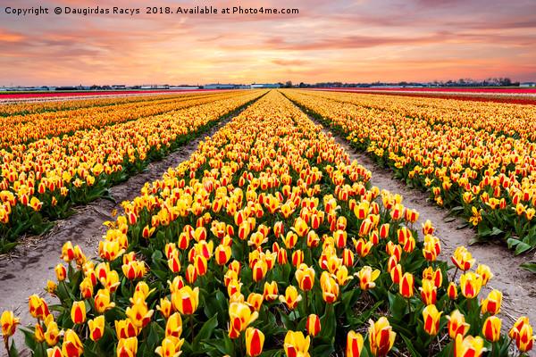 A colourful evening at a Dutch Tulip field Canvas print by Daugirdas Racys