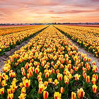 Buy canvas prints of A colourful evening at a Dutch Tulip field by Daugirdas Racys