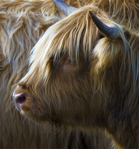 Highland Cow Canvas print by Mike Gorton