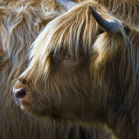 Buy canvas prints of Highland Cow by Mike Gorton