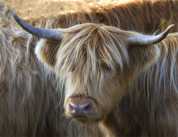 Face to Face With a Horny Cow Canvas print by Mike Gorton
