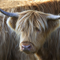 Buy canvas prints of Face to Face With a Horny Cow by Mike Gorton