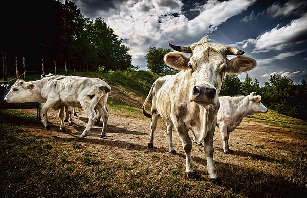 Cows Canvas print by Guido Parmiggiani