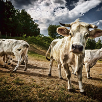 Buy canvas prints of Cows by Guido Parmiggiani