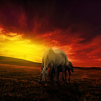 Buy canvas prints of young couple of horses grazing in the hills at dus by Guido Parmiggiani