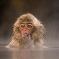 Buy canvas prints of Young Japanese Macaque by Keith Naylor