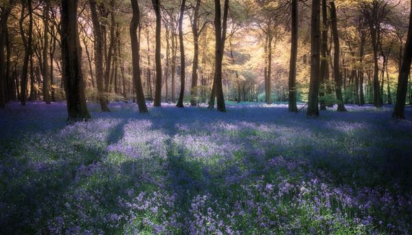 Spring Bluebell Woodlands Canvas print by Ceri Jones