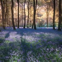 Buy canvas prints of Spring Bluebell Woodlands by Ceri Jones