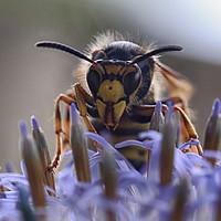 Buy canvas prints of Wasp Close-up by Ceri Jones