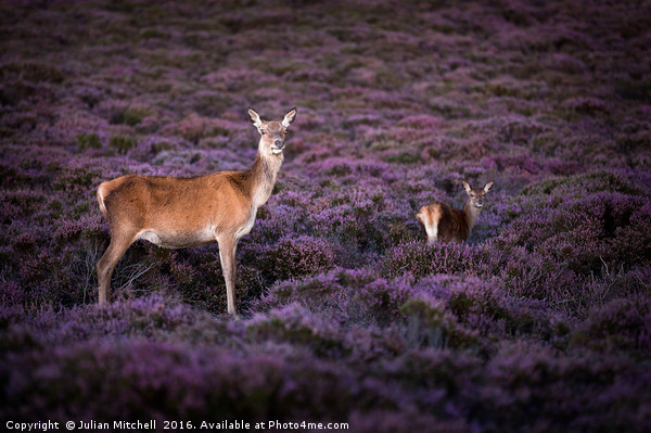 Deer on Dunwich Heath Canvas print by Julian Mitchell