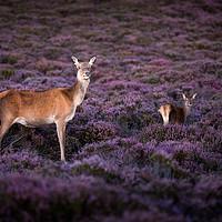 Buy canvas prints of Deer on Dunwich Heath by Julian Mitchell