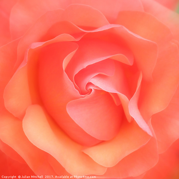 Rose Canvas Print by Julian Mitchell
