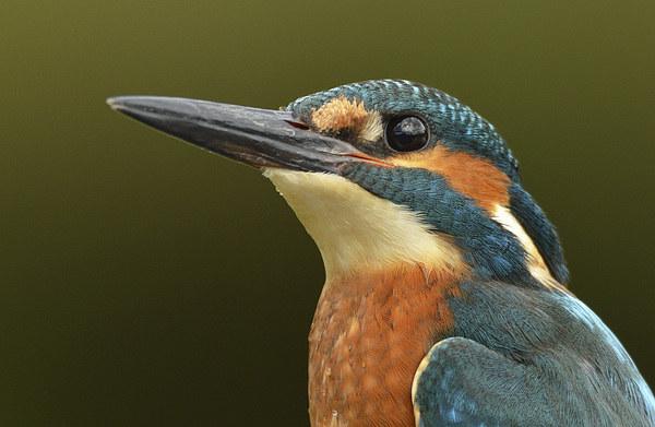 Kingfisher Portrait Canvas Print by Ashley Jackson