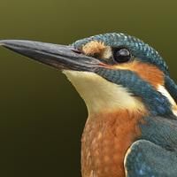 Buy canvas prints of  Kingfisher Portrait by Ashley Jackson