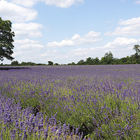 Buy canvas prints of  Lavender Field by Andy Huntley