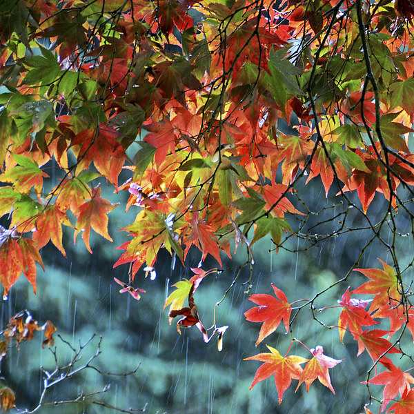 Rainy Autumn Acer at Westonbirt Canvas Print by Carolyn Eaton
