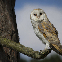 Buy canvas prints of Barn Owl by Alan Tunnicliffe