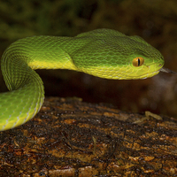 Buy canvas prints of White-lipped Pit Viper by Alan Tunnicliffe