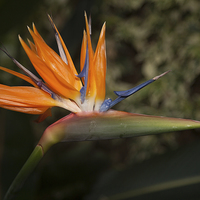 Buy canvas prints of Bird of paradise plant  by Alan Tunnicliffe