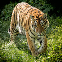 Buy canvas prints of Amur Tiger by Alan Tunnicliffe