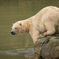 Buy canvas prints of Polar bear by Alan Tunnicliffe