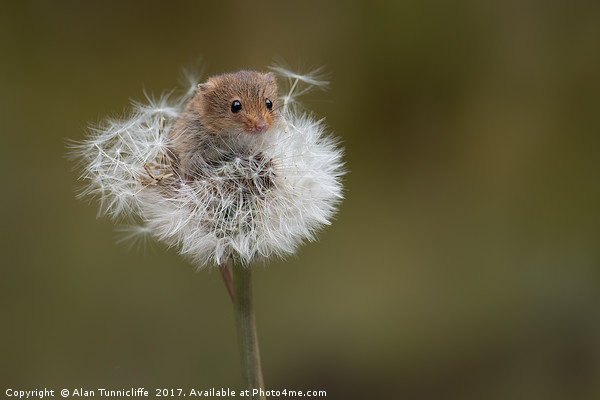 Harvest mouse Canvas print by Alan Tunnicliffe