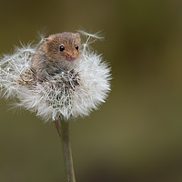 Buy canvas prints of Harvest mouse by Alan Tunnicliffe