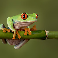 Buy canvas prints of Tree frog by Alan Tunnicliffe