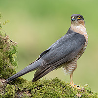 Buy canvas prints of Sparrowhawk by Alan Tunnicliffe