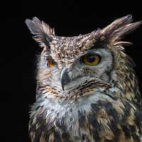 Buy canvas prints of MacKinders eagle owl by Alan Tunnicliffe