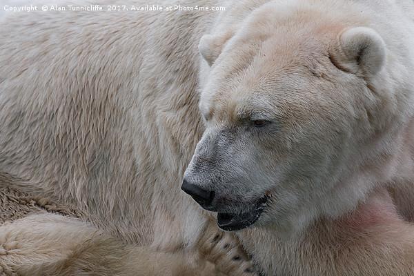 Polar bear Framed Mounted Print by Alan Tunnicliffe