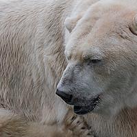 Buy canvas prints of Polar bear by Alan Tunnicliffe
