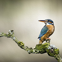 Buy canvas prints of Kingfisher with oil painting effect by Alan Tunnicliffe