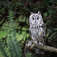 Buy canvas prints of A long eared owl perched on a tree branch by Alan Tunnicliffe