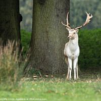 Buy canvas prints of A young fallow deer buck by Alan Tunnicliffe