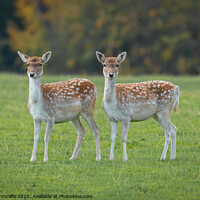 Buy canvas prints of Two young fallow deer by Alan Tunnicliffe