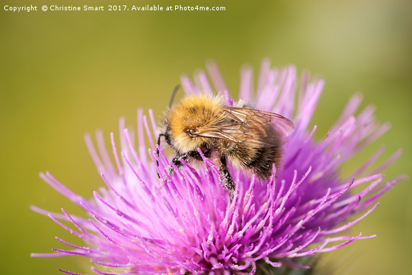 Bumble Bee on Purple Thistle Canvas print by Christine Smart