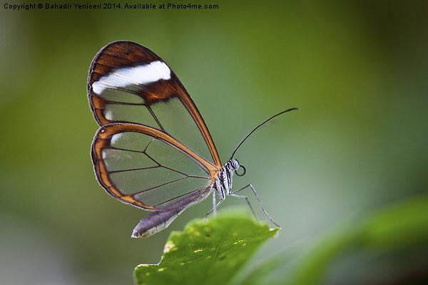 The Glasswinged Butterfly Canvas print by Bahadir Yeniceri
